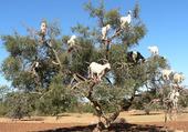 Chèvres dans l'Arganier