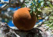 le fruit du Baobab