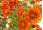 Marguerites d'automne