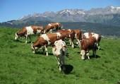 Troupeau en Haute Savoie