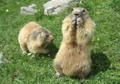Marmottes savoyardes