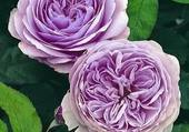 roses doubles mauves