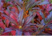 Rododendron en automne