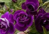 Tres jolies roses