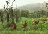 belles poules