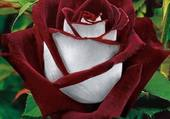 Puzzle Rose Osiria