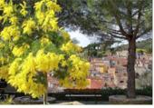 Village mimosa
