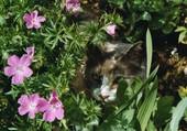 Chat dans les pervenches