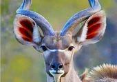 Le grand Koudou d'Afrique
