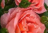 magnifiques roses roses