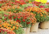 Pots de Chrysanthèmes