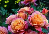 roses magnifiques