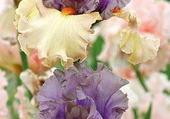 très beaux iris