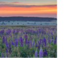 Profusion de lupins sauvages