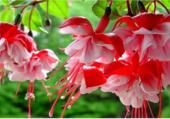 Splendeur du Fuchsia