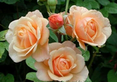 jolies roses thé