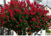 Lilas rouge d'inde