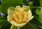 Fleur de Tulipier de Virginie