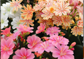 Wilisias multicolores