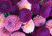 Puzzle bouquet de dahlias