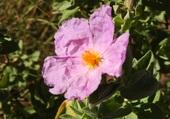 ciste en fleur