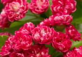Aubépines à  fleurs doubles