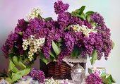 La bonne odeur du lilas