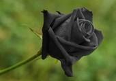 Puzzle  Siyah Güloù rose noi