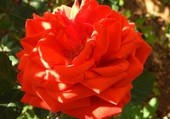 la rose du jour