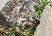 Puzzle Les chatons