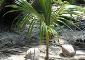 Puzzle Bébé cocotier