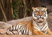 Tigre du Bengale couché !