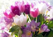 tulipe et crocus
