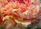 roses doubles