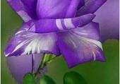 rose originale bleue
