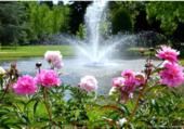 Fontaine et pivoines
