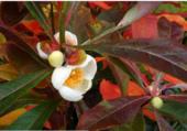 Rare, fleur de l'arbre de Franklin