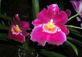 Orchidée à Funchal