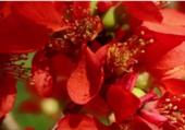 Puzzle Fleurs de coing