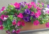 jardiniere de pétunias
