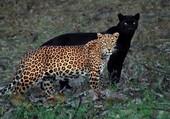 Puzzle Un léopard