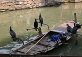 La chasse aux cormoran