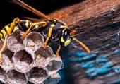 les-guepes-des-insectes-mal-aimes-