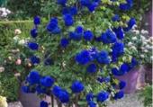 Exceptionnel rosier bleu!