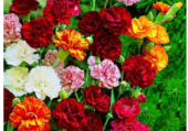 Florilège d'oeillets