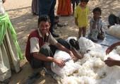La tonte des moutons
