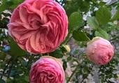 Rose cour carrée