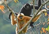 Le gibbon de Hainan,