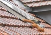 écureuil sur le toit