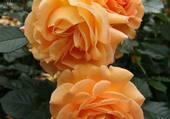 roses orangées